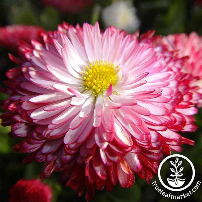 Bellis English Daisy Habanera Mixture Seed