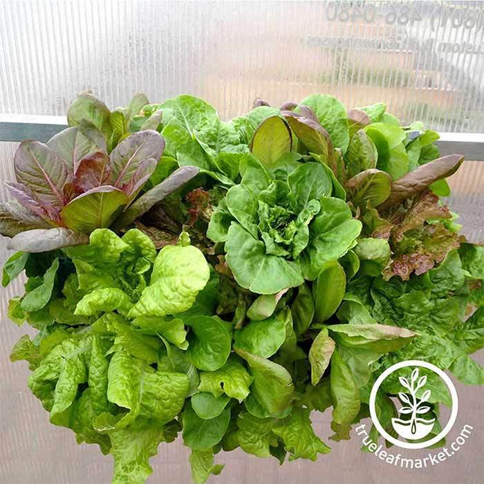 Planter Box With Grown Lettuce