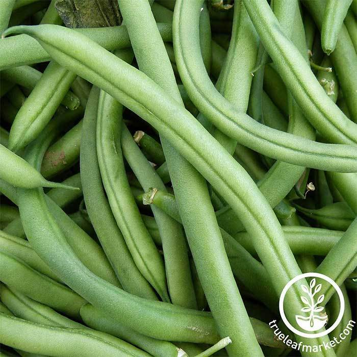 Bean - Pole - Blue Lake Pole FM1K (treated) Garden Seed