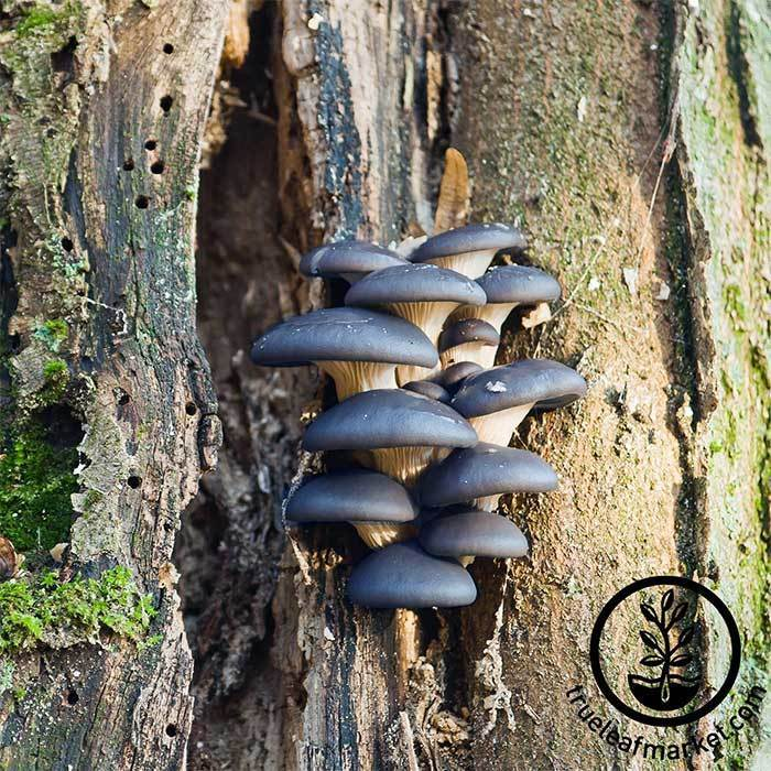 Plug Spawn - Blue Oyster Mushrooms