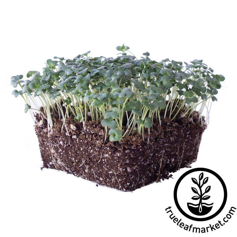 ramoso santana broccoli microgreens white background