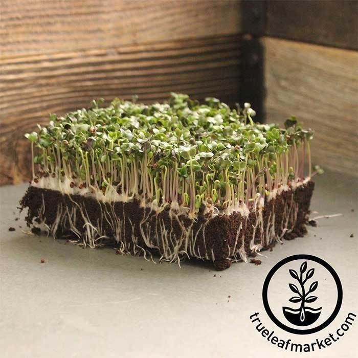 Broccoli - Purple Sprouting (organic) - Microgreens Seeds