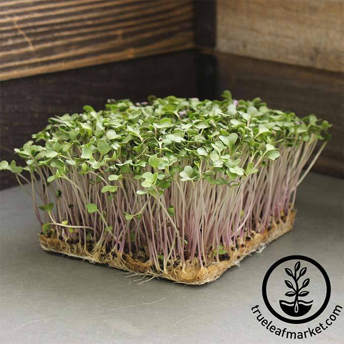 Brussels Sprouts - Long Island Improved - Microgreens Seeds