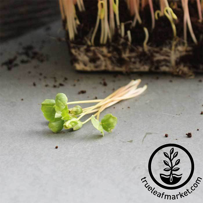 Buckwheat (organic) - Microgreens Seeds