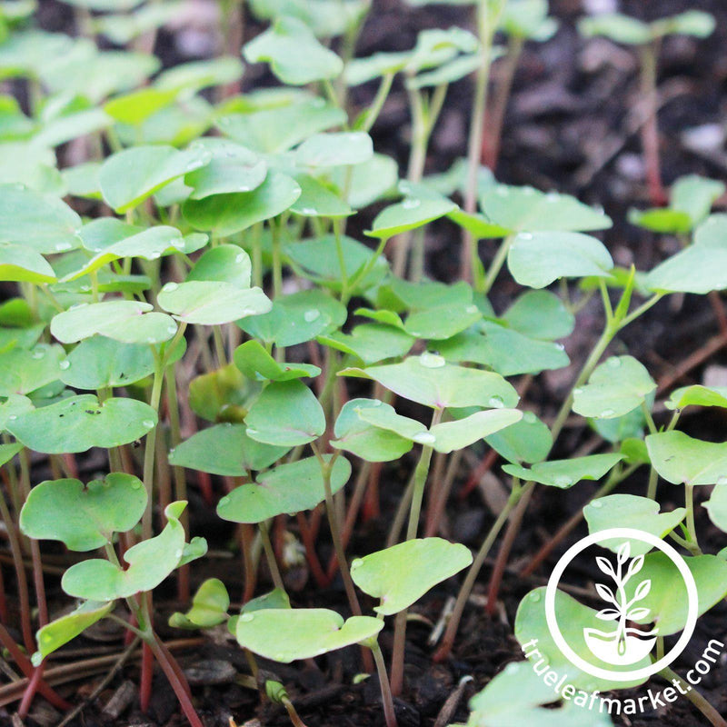 Buckwheat - Organic - Cover Crops Seeds