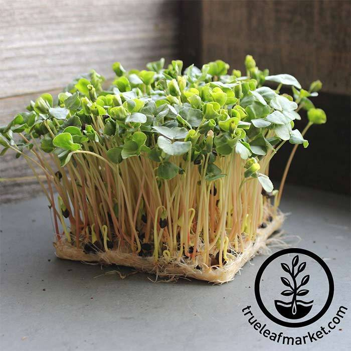 Buckwheat Microgreen Seeds