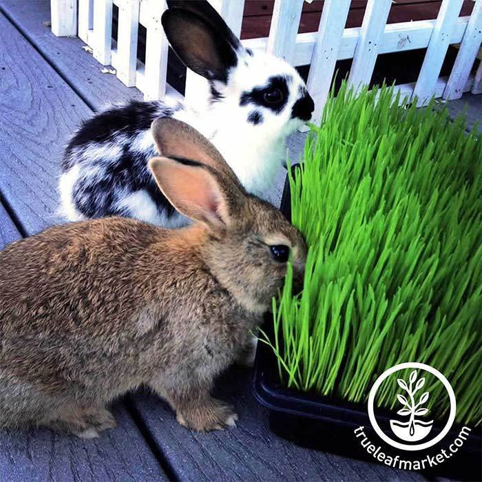 Bunnies Love Wheatgrass