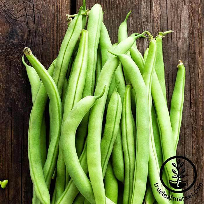 Bean - Bush - Contender Garden Seeds