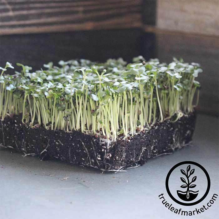 Cabbage - Golden Acre - Microgreens Seeds