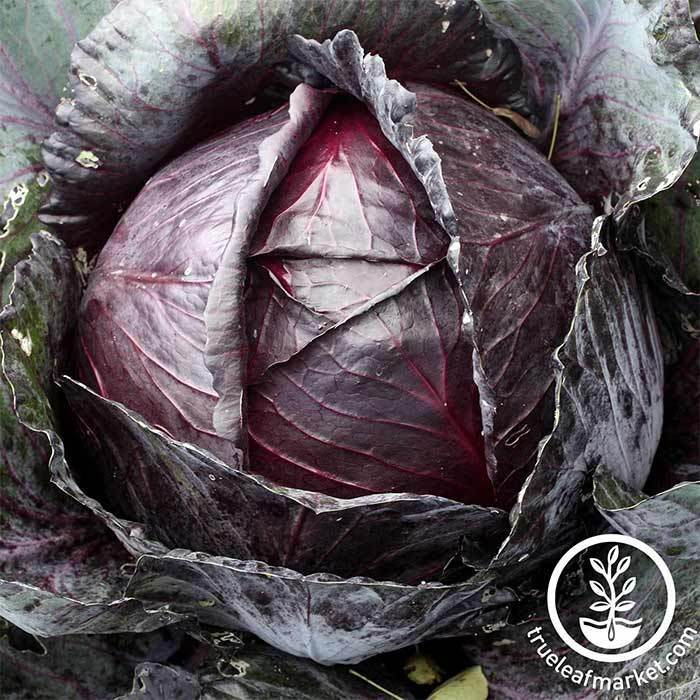Cabbage Red Acre Vegetable Seed