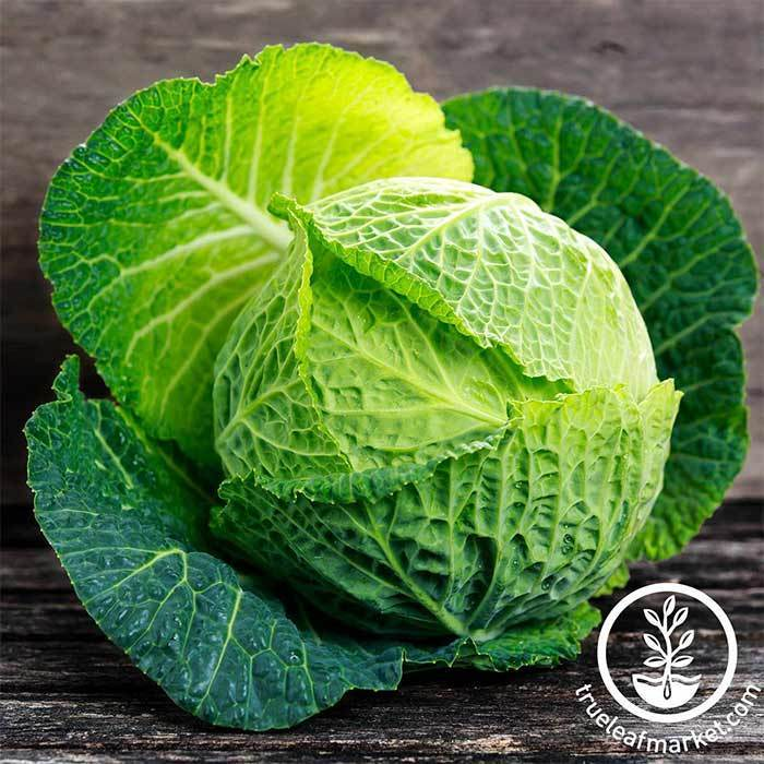 Cabbage Savoy Perfection Vegetable Seed