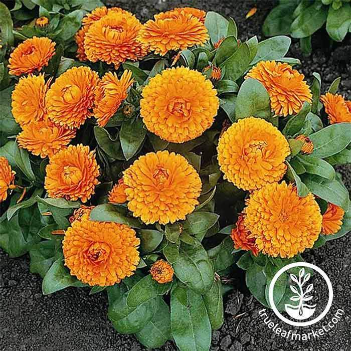 Calendula Bon Bon Series Orange Seed