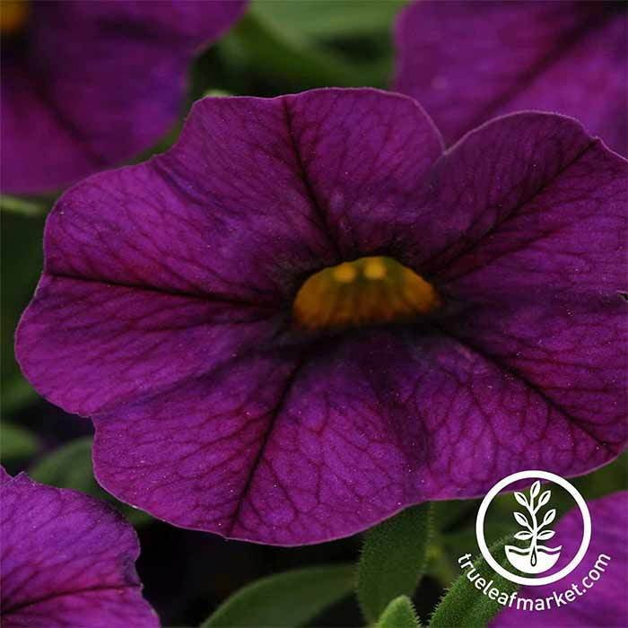 Calibrachoa Kabloom Series Deep Blue Flower Seed