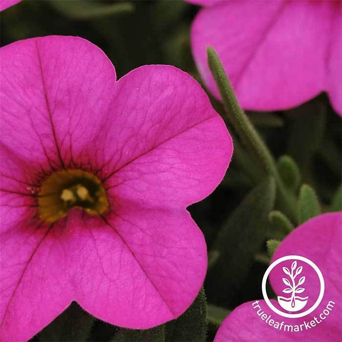 Calibrachoa Kabloom Series Deep Pink Seed