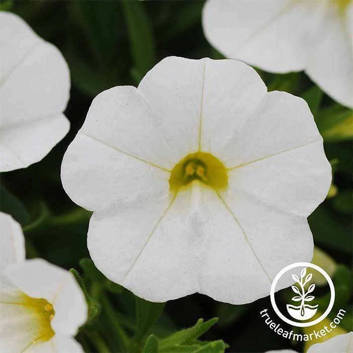 Calibrachoa Kabloom Series White Seed