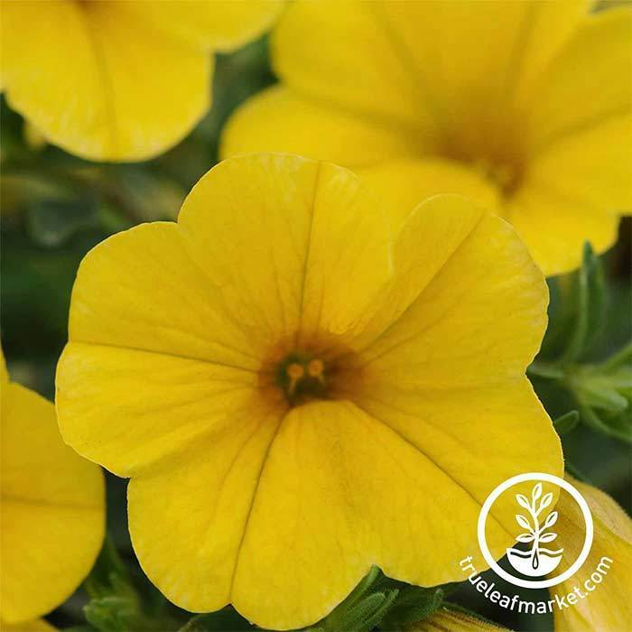Calibrachoa Kabloom Series Yellow Seed