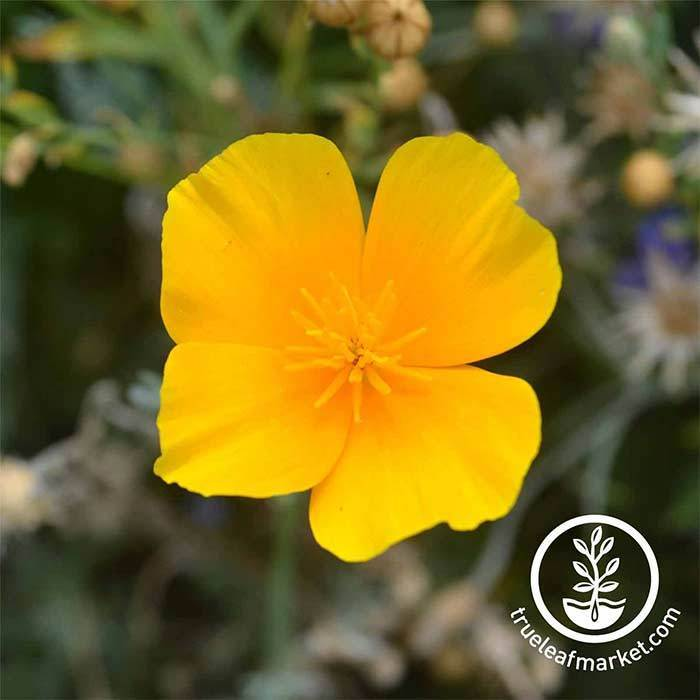 California Poppy Flower Seed