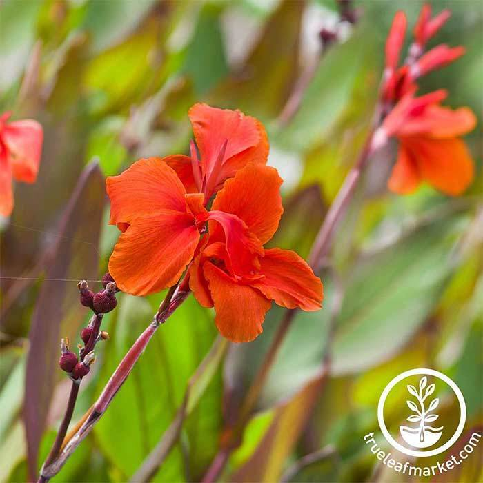 Canna Tropical Series Bronze Scarlet Seed