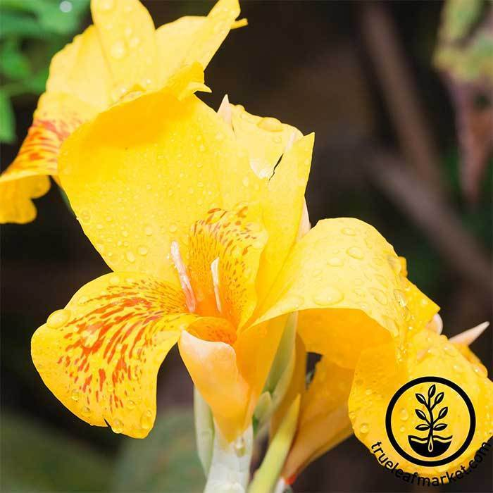 Canna Tropical Series Yellow Seed