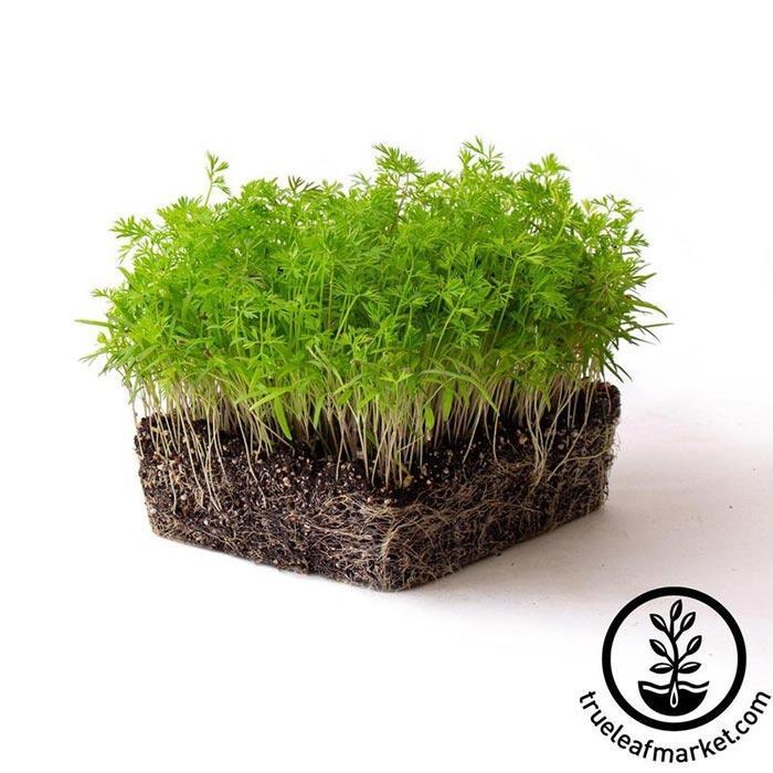Carrot Microgreens Seeds white background