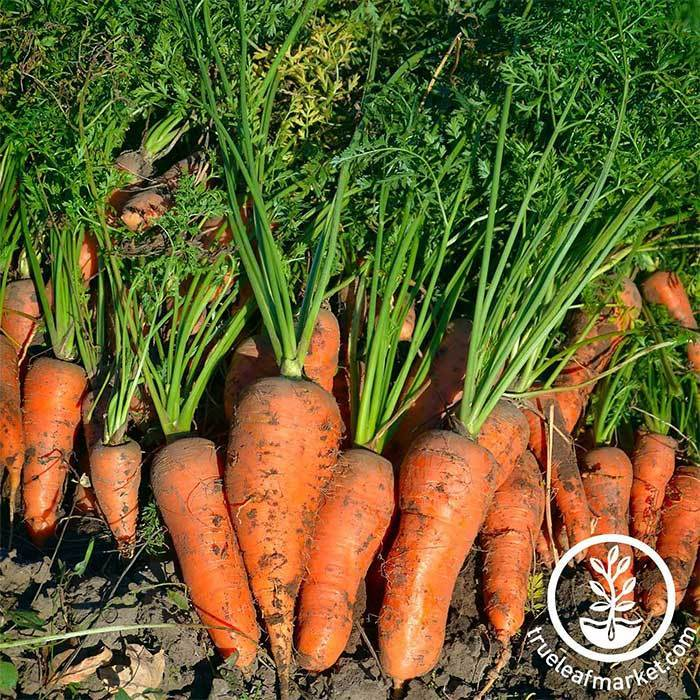 Carrot Royal Chantenay Seeds