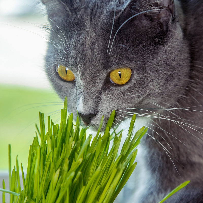 Cat Wheatgrass