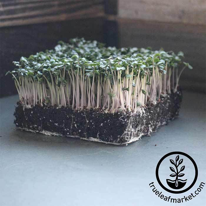 Cauliflower - Snowball Y Improved - Microgreens Seeds