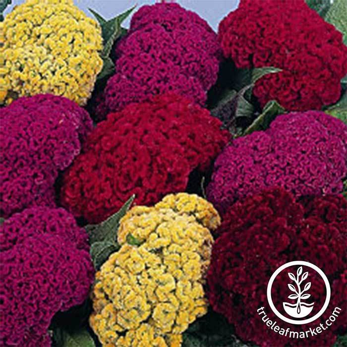 Celosia Crested Armor Mix Seed