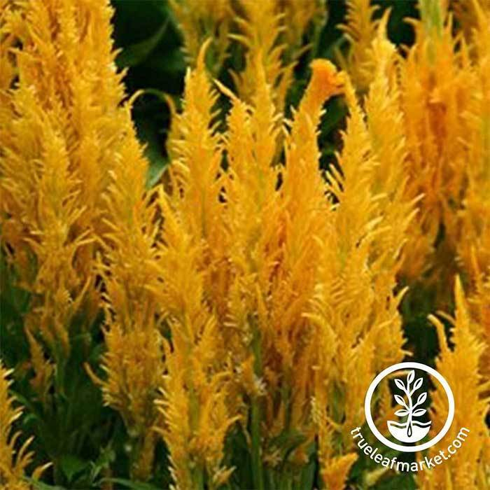 Celosia Plumed Fresh Look Series Gold Seed