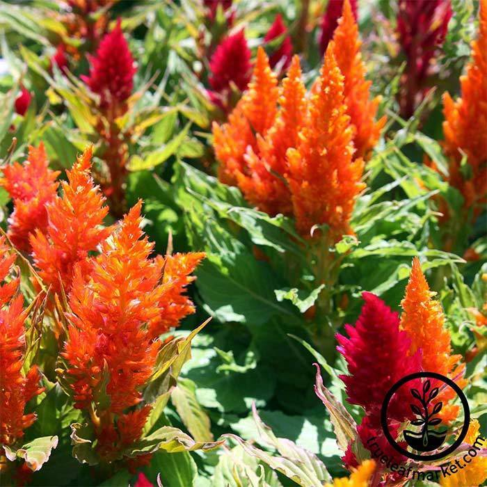 Celosia Plumed Fresh Look Series Red Seed