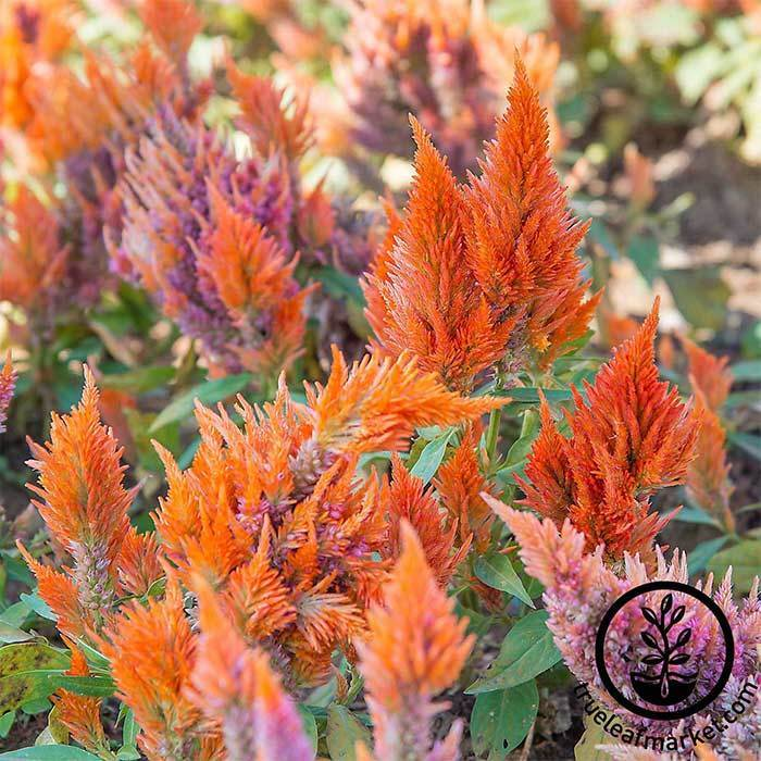 Celosia Plumed Fresh Look Series Mix Seed