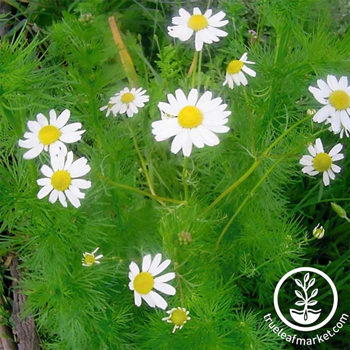 Chamomile - German Herb Seed
