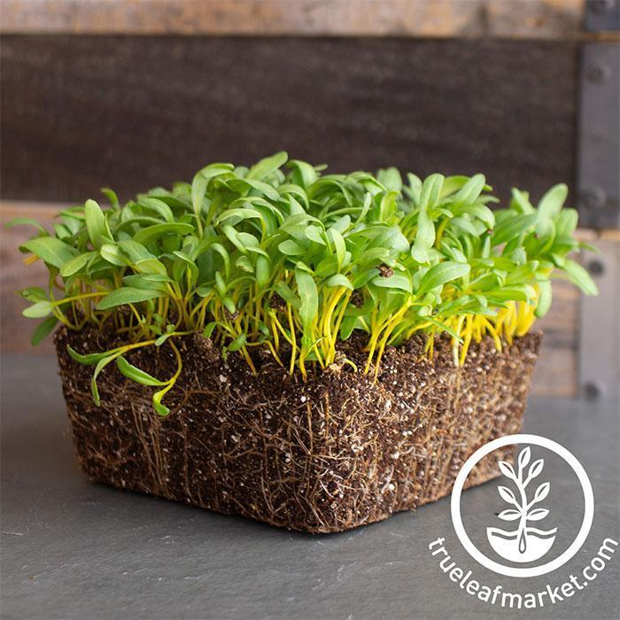Yellow Swiss Chard Microgreens Seeds