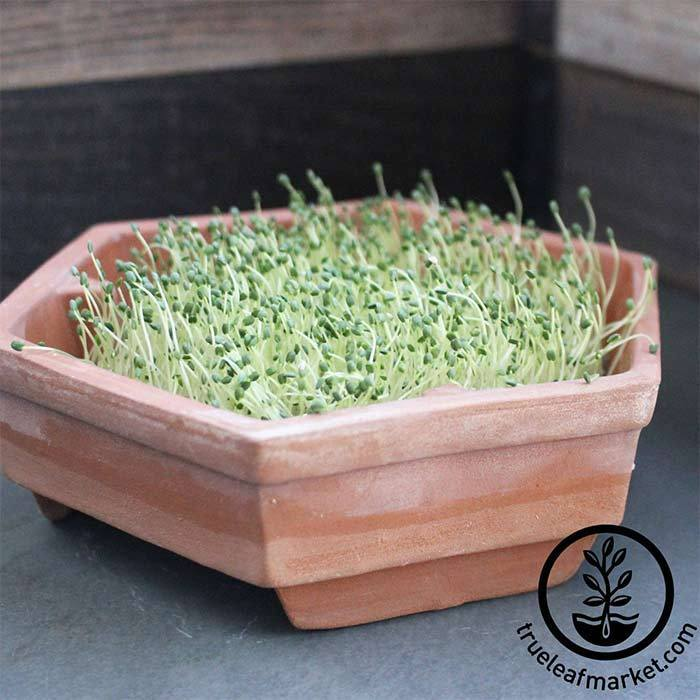 Chia Growing Kit - Hydroponic Sprouted Microgreens