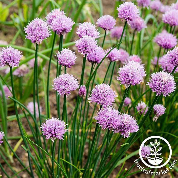 Chives Herb and Flower Seed
