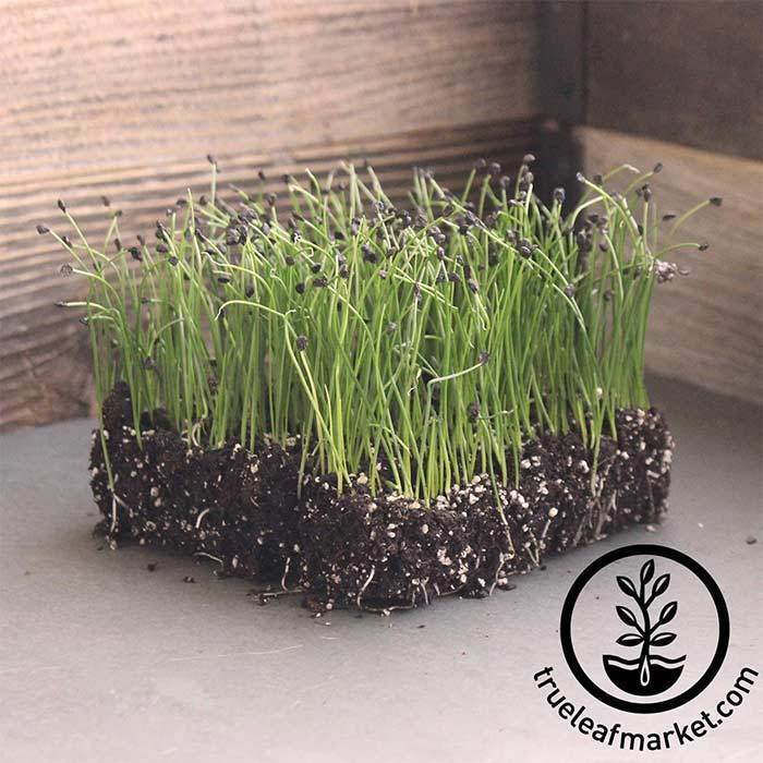 Chives - Microgreens Seeds