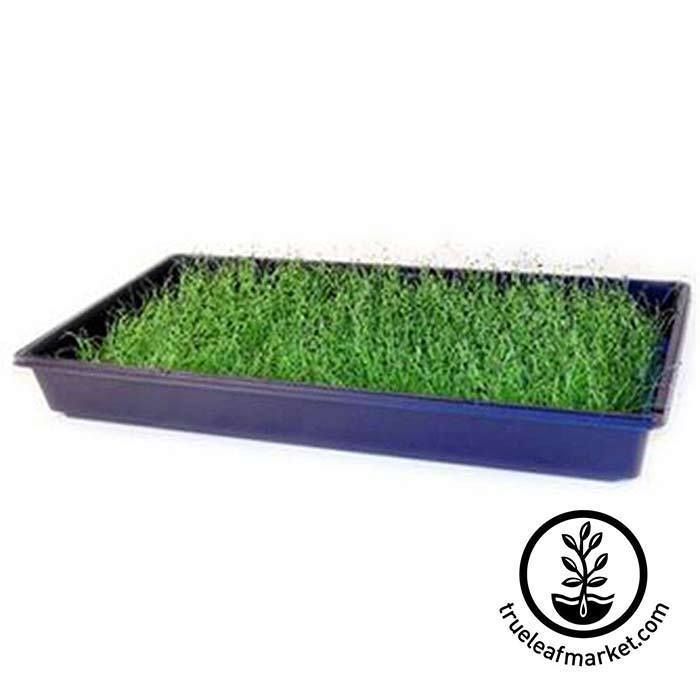 Chives Microgreens