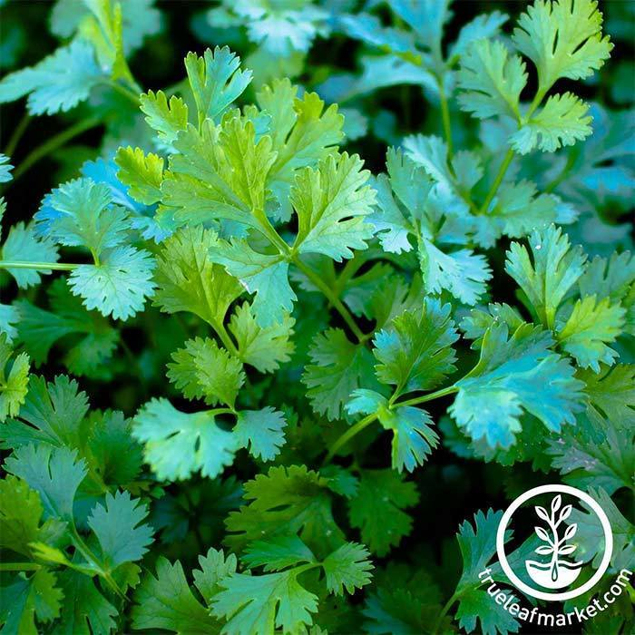 Details about  /Cilantro Seeds Coriander Culantro Chinese Parsley Organic Herb Seeds Non GMO