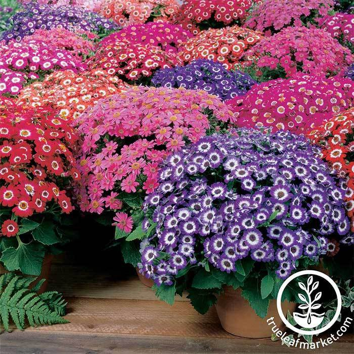 Cineraria Jester Mix Seed