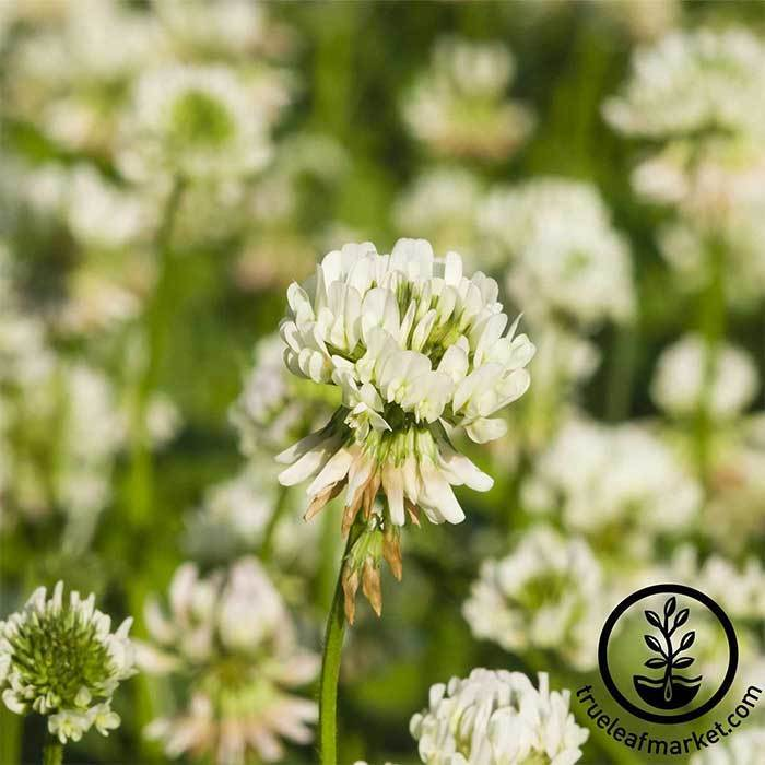 Clover - White Dutch Cover Crop seeds