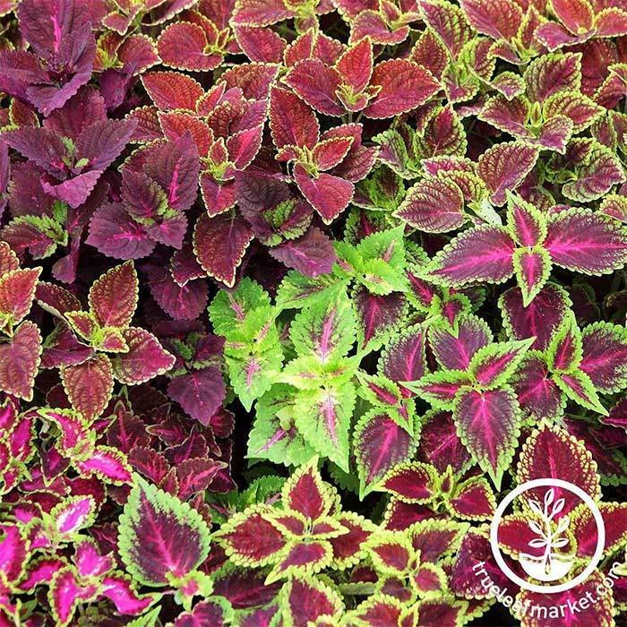 Jazz Combo Coleus Mix Seed