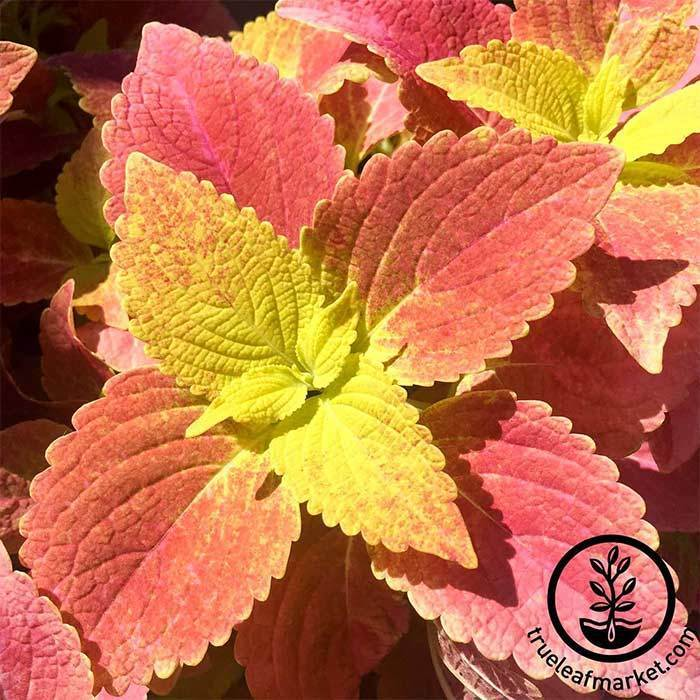 Coleus Wizard Series Sunset Bronze Seed