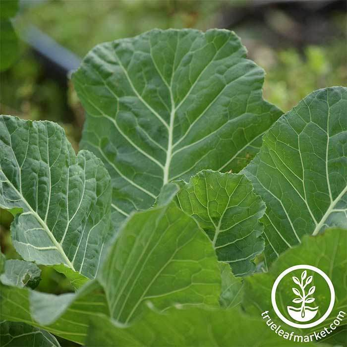 Non-gmo Gluten Free Seeds FREE Shipping Collards VATES GREENS 1 LB Heirloom