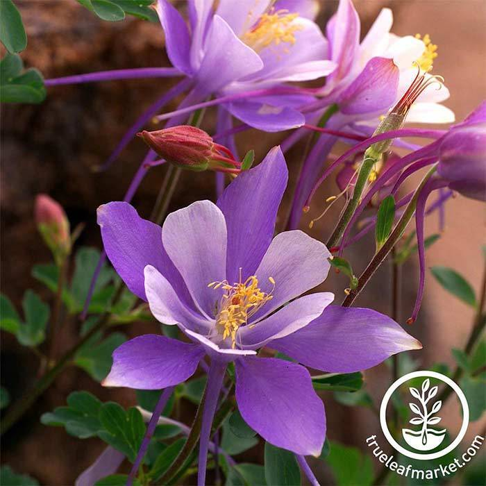 Columbine Seeds - Dragonfly Mix