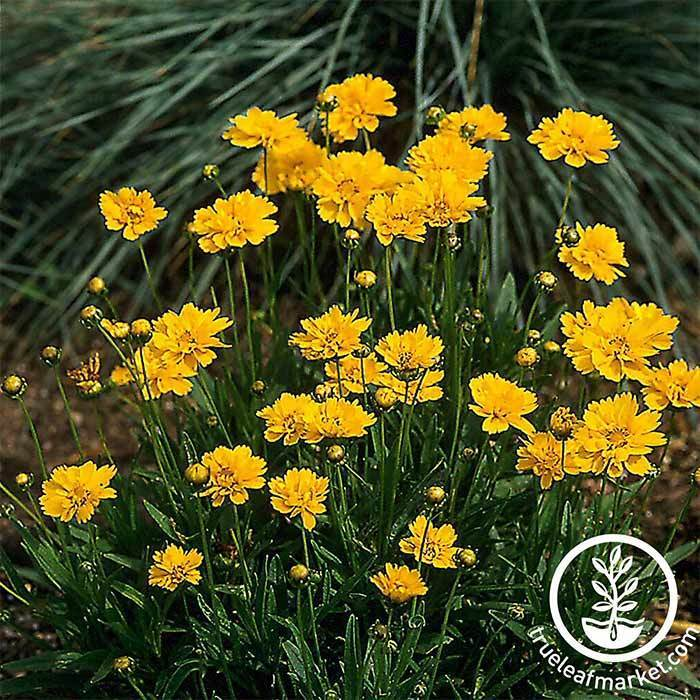 Early Sunrise Coreopsis Seed