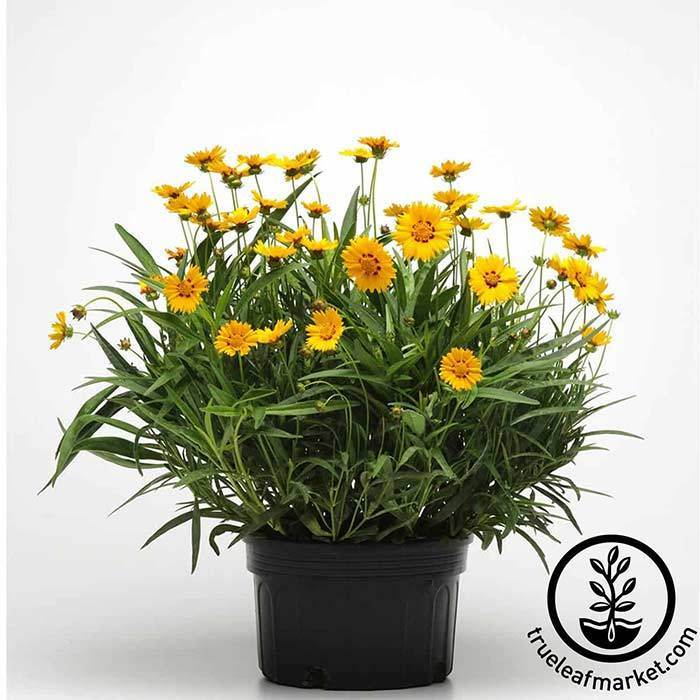 Coreopsis Sunfire Flower Planting Seed