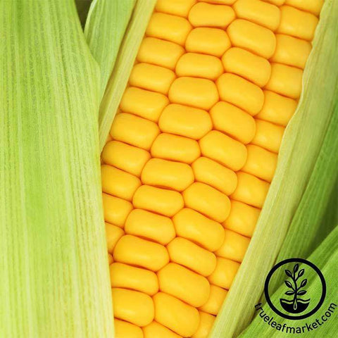 Silver king corn days to maturity