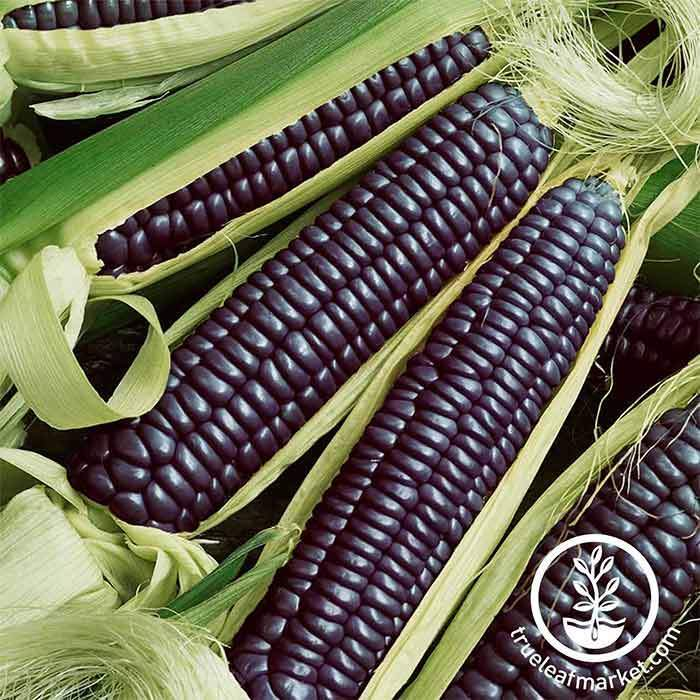 Corn - Ornamental - Blue Hopi Garden Seed