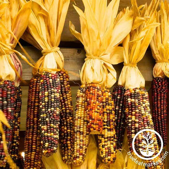 Corn Ornamental Indian Seed