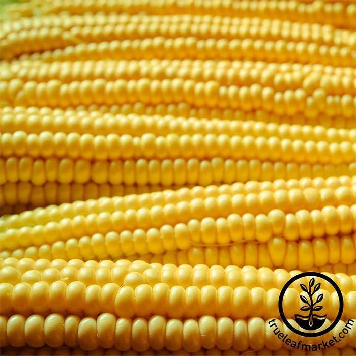 Corn Popcorn Robust Yellow Hulles Hybrid Seed